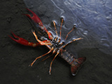 Metal-Polluted Water Can Kill Even Strong Species Such as the Red Swamp Crayfish
