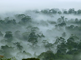 Canopy of the Lowland Rainforest at Dawn with Fog and Mist  Danum Valley Conservation Area  Sabah