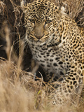 African Leopard Camouflaged in Dead Grasses (Panthera Pardus)  Masai Mara Game Reserve  Kenya