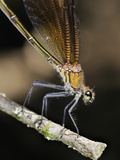 Female Copper Demoiselle Damselfly (Calopteryx Haemorrhoidalis)