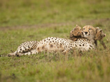 Cheetah (Acinonyx Jubatus) Playing with Cubs  Masai Mara Game Reserve  Kenya