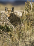 Coyote Hunting (Canis Latrans)  Montana  USA