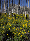 Succession in a Burned Forest  Glacier National Park  Montana  USA