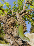 An Italian Wall Lizard (Podarcis Sicula) Basking on a Tree Branch  Sicily  Italy