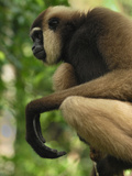 Dark-Handed or Agile Gibbon (Hylobates Agiles) Tanjung Puting National Park  Kalimantan