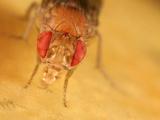 Fruit Fly (Drosophila Melanogaster) Eating Fruit
