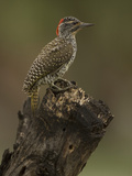 Golden-Tailed Woodpecker  Campethera Albingoni  Africa