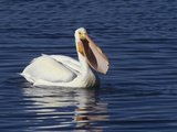 White Pelican on Water with its Bill Open  Pelecanus Erythrorhynchos  Winter Plumage