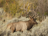 Elk (Cervus Canadensis) in Yellowstone National Park  USA