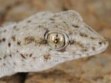Tenerife Wall Gecko Head (Tarentola Delalandii)  Endemic on the Canary Islands