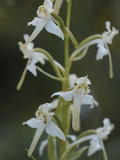 Greater Butterfly Orchid (Platanthera Chlorantha)