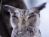 White-Faced Scops Owl Head (Otus Leucotis)  Lake Baringo  Kenya
