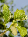 White Mulberry (Morus Alba) Cultivated to Feed Larva of the Silk Moth (Bombyx Mori)
