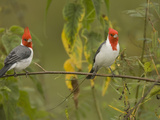 Red-Crested Cardinals  Paroaria Coronata  South America and an Introduced Species in Hawaii  USA