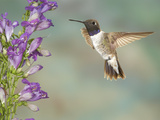 Black-Chinned Hummingbird (Archilochus Alexandri) Male Flying