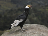 Male Andean Condor Perched on a Rock (Vultur Gryphus) Puracâ» National Park  Department Cauca