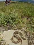 Italian Three-Toed Skink (Chalcides Chalcides) Basking Near a Trail Used by Bikers  Italy