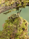 Vietnamese Mossy Frog (Theloderma Corticale)  Vietnam  Captivity