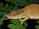 Boettger's or Blue-Nosed Chameleon (Calumma Boettgeri) Montagne D'Ambre Np  Antsiranana