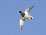 Male Mallard Duck (Anas Platyrhynchos)  Montana  USA