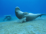 Dugong (Dugong Dugon)Scratching Itself on Coral to Remove Parasites