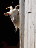 Domestic Goat (Capra Aegagrus Hircus) Peering Out of Barn  Pennsylvania  USA