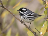 Black-Throated Gray Warbler (Dendroica Nigrescens) Perched on a Branch