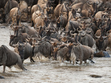 Wildebeest or Gnu  Connochaetes Taurinus  During River Crossing in the Masai Mara Gr  Kenya