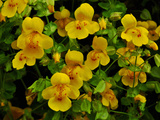 Common or Seep Monkeyflower (Mimulus Guttatus)  Oregon  USA