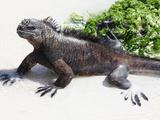 Marine Iguana (Amblyrhynchus Cristatus Hassi)  Santa Cruz  Galapagos