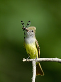 Great Crested Flycatcher (Myiarchus Crinitus) with Dragonfly Prey in its Beak  Pennsylvania  USA