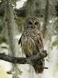 Barred Owl (Strix Varia) in Tree  Lake Cypress  Florida  USA