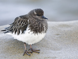 Black Turnstone (Arenaria Melanocephala) in Winter Plumage  La Jolla  California  USA