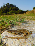 Bocage's Wall Lizard Female (Podarcis Bocagei)  Portugal
