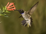 Black-Chinned Hummingbird Male (Archilochus Alexandri) Feeding