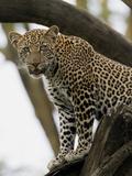 Leopard (Panthera Pardus)  Kenya  Africa