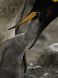 King Penguin with its Young Feeding on Regurgitated Food in the Parents Bill