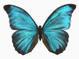 Male Adult Blue Morpho Butterfly (Morpho Amathonte)
