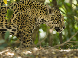 Jaguar (Panthera Onca) Along a Riverbank in Brazil's Pantanal Wetlands