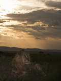 African Lion Sitting on the Savanna at Sunset (Panthera Leo)  Masai Mara  Kenya