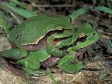 European Treefrogs in Amplexus (Hyla Arborea)  Switzerland