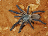 Tarantula (Monocentropus Balfouri)  Endemic to Socotra  Yemen