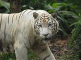 White Tiger (Panthera Tigris)  Singapore