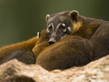 Coatimundi (Nasua Narica) Lying Down