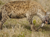 Spotted Hyena Eating a Zebra Tail (Crocuta Crocuta)  Serengeti National Park  Tanzania
