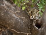African Leopard Restping in a Tree (Panthera Pardus)  Masai Mara Game Reserve  Kenya  Africa
