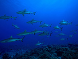 School of Gray Reef Sharks (Carcharhinus Amblyrhynchos)  South Pass  Fakarava  Tahiti Island