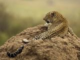 Jaguar (Panthera Onca) Laying on Termite Mound  Samburu Game Reserve  Kenya  Africa