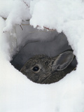 Mountain Cottontail (Sylvilagus Nuttallii) Hiding in a Hole in the Snow  Front Range  Colorado