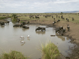 Waterhole Scene with a Large Herd of White-Bearded Wildebeests or Gnus (Connochaetes Taurinus)